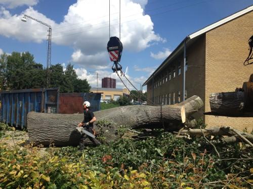 Fældning af stort poppel træ i Aarhus. ETW certificeret træfældning i Aarhus Århus Østjylland.