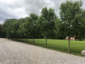 Strukturbeskæring opbygningsbeskæring af asketræ allé i Østjylland