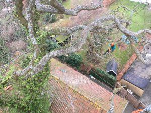 Træpleje. Gammelt egetræ i Aarhus får fjernet døde grene. Kronepleje af gammelt træ i Aarhus Århus. ETW certificeret. Certificeret European treeworker. Professionel pleje af gammelt træ. Professionel pleje af gamle træer. DIch Træpleje aps.