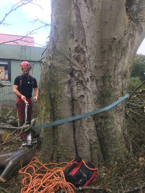 Fældning af døende bøgetræ i Aarhu. Nedfiring af effekter ved træfældning i Aarhus Østjylland.