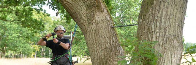 Stabilisering af gammelt flækket egetræ. Montering af statisk kronestabilisering samt rustfri gevindstænger for at bevare gammelt veterantræ egetræ i østjylland jylland aarhus århus.