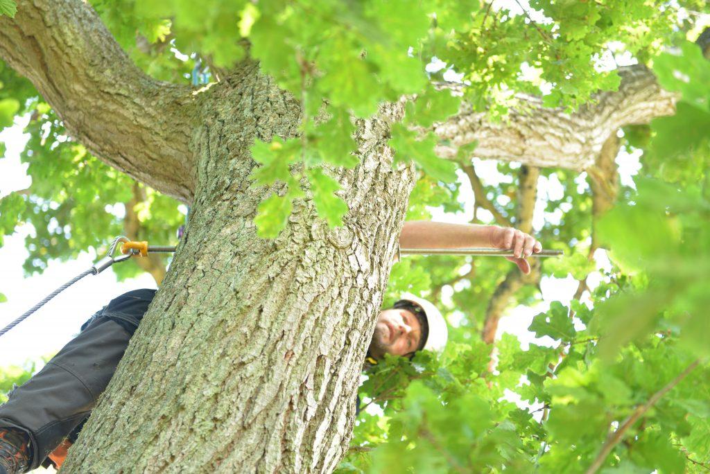 Montering af statisk stålwire kronestabilisering i gammelt flækket egetræ